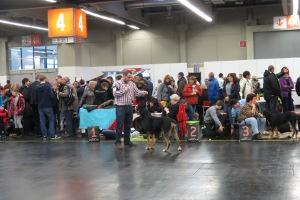 Sennenhunde im Ausstellungsring