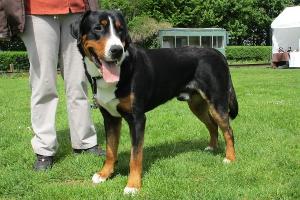 Großer Schweizer Sennenhund Arvo