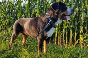 Helge Großer Schweizer Sennenhund