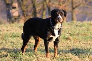 Große Schweizer Sennenhunde vom Försterrain