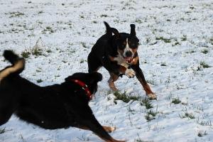 Sennenhunde lieben den Schnee