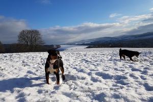 Appenzeller Sennenhunde lieben den Schnee