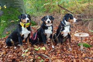 Appenzeller Pilzsuchhunde