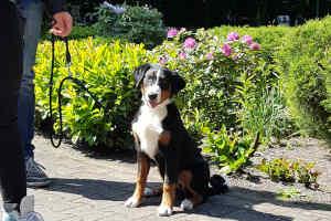 Appenzeller Sennenhund vom Försterrain